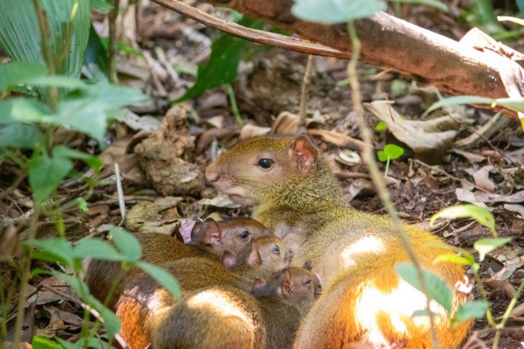 imagem de topo da notícia sobre os três filhotes de cutia